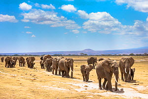 African elephants (Loxodonta africana) large family group on migration, Amboseli National Park, Kenya - Ann & Steve Toon