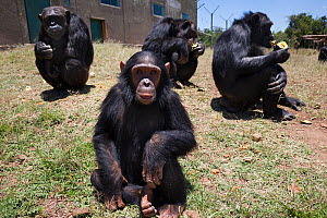 Chimpanzees (Pan troglodytes) from West and Central Africa that were orphaned or abused find sanctuary in the Sweetwaters Chimpanzee Sanctuary, Ol Pejeta conservancy, Laikipia, Kenya, September 2012  -  Ann & Steve Toon