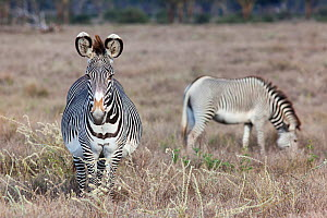 Grevy zebra (Equus grevyi) two grazing on savanna, one very pregnant, Lewa conservancy, Laikipia, Kenya - Ann & Steve Toon