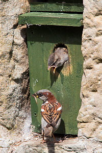 House sparrow (Passer domesticus) male feeding chick at nestbox, Northumberland, UK, August  -  Ann & Steve Toon