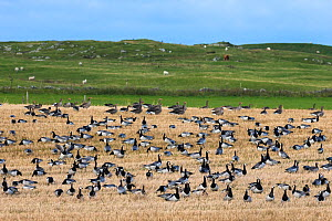 Barnacle geese (Branta leucopsis) and White fronted geese (Anser albifrons), in stubble field, Islay, Scotland, UK, October  -  Ann & Steve Toon