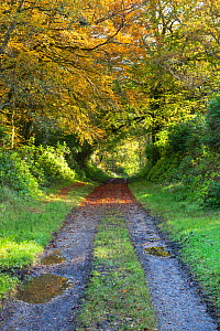 Woodland walk in autumn colours, Bridgend Woods, Islay, Scotland, October  -  Ann & Steve Toon