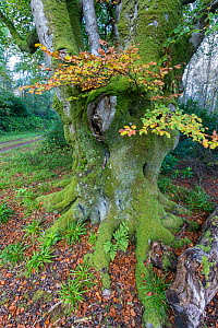 Beech tree in autumn woodland, Bridgend Woods, Islay, Scotland, October  -  Ann & Steve Toon