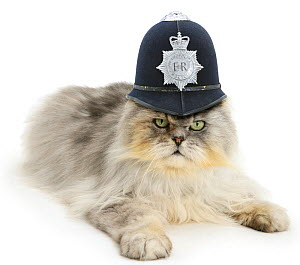 Silver tabby chinchilla Persian male cat, Cosmos, wearing a police helmet. - Mark Taylor