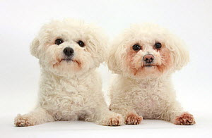 Two Bichon Fris� bitches, Poppy and Pipa.  -  Mark Taylor