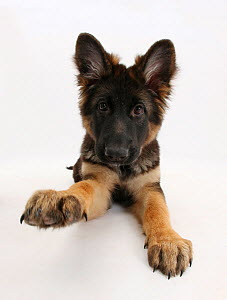 German Shepherd Dog bitch pup, Coco, 14 weeks old, with raised paw.  -  Mark Taylor
