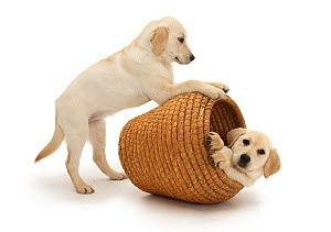 Yellow Labrador Retriever pups, 4 months old, playing in straw laundry basket. - Mark Taylor