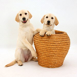 Yellow Labrador Retriever pups, 4 months old, in straw laundry basket. - Mark Taylor