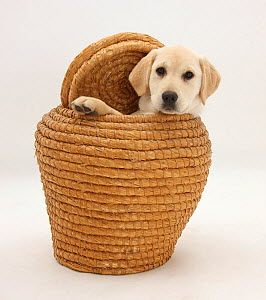 Yellow Labrador Retriever pup, 4 months old, in straw laundry basket. - Mark Taylor