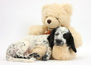 Black-and-white Border Collie x Cocker Spaniel puppy, 11 weeks old, asleep on a cream teddy bear.  -  Mark Taylor