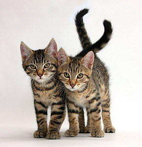 Tabby kittens, Stanley and Fosset, 12 weeks old, walking together. - Mark Taylor