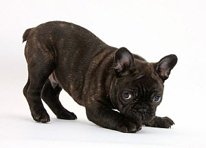 Dark brindle French Bulldog pup, Bacchus, 9 weeks old, in play-bow stance.  -  Mark Taylor
