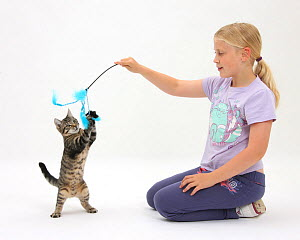 Siena playing with tabby kitten, Fosset, 4 months old, using a kitten fishing toy. Model released - Mark Taylor