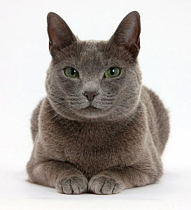 Russian Blue female cat with green eyes.  -  Mark Taylor