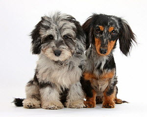 Fluffy black-and-grey Daxie-doodle pup, Pebbles, with black-and-tan Dachshund bitch, Puzzel.  -  Mark Taylor