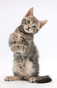 Tabby kitten, Max, 9 weeks old, standing up with raised paws. - Mark Taylor