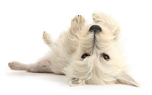 West Highland White Terrier bitch, Milly, lying playfully on her back. - Mark Taylor