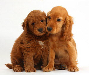 Puppy love - Golden Cocker Spaniel puppy, Maizy, snuggling up to a red F1b Goldendoodle puppy.  -  Mark Taylor