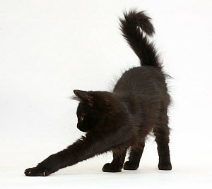 Fluffy black kitten, 12 weeks old, stretching. - Mark Taylor