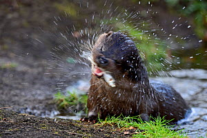 European Otter (Lutra lutra) with fish (Dace) on river bank. River Thet, Thetford, Norfolk, UK, March. - David Tipling