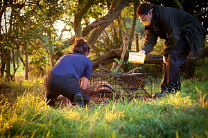 Badger (Meles meles) being vaccinated with Bovine tuberculosis vaccine by Cheshire Wildlife Trust & Shropshire Wildlife Trust staff. Badgers are first 'live-trapped' overnight then vaccinated, marked...  -  Tom Marshall