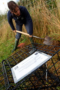 Badger (Meles meles) bovine tuberculosis vaccination deployment. Staff from Cheshire Wildlife Trust, UK, prepare live traps for vaccination. Traps are carefully set into natural badger 'runs' along he...  -  Tom Marshall
