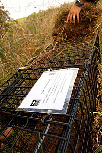 Badger (Meles meles) bovine tuberculosis vaccination deployment. Staff from Cheshire Wildlife Trust, UK, prepare live traps for vaccination, including bedding in with vegetation along natural badger '...  -  Tom Marshall