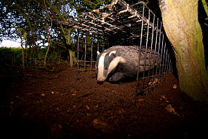 Badger (Meles meles) bovine tuberculosis vaccination deployment. After vaccine administration and a red stock-mark (upper back, just visible) the badger is released. If captured again on the second da...  -  Tom Marshall