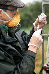 Badger (Meles meles) bovine tuberculosis vaccinator preparing syringe for vaccination in the rain at rear of vehicle. Protective clothing is worn to protect both badger and vaccinator. Cheshire / Shro...  -  Tom Marshall