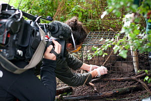 Badger (Meles meles) bovine tuberculosis vaccine being administered by Shropshire Wildlife Trust in autumn 2012, with BBC film crew observing. The badger is then sprayed with a stock-marker paint mark...  -  Tom Marshall