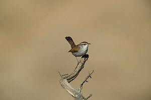 Bewick's wren (Thryomanes bewickii) perched on a twig in Kern county, California, United states  -  David Welling