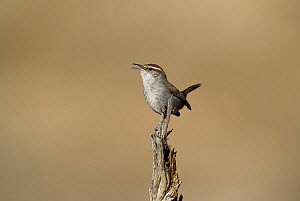 Bewick's wren (Thryomanes bewickii) perched on a twig in Kern County, California, United States, March  -  David Welling