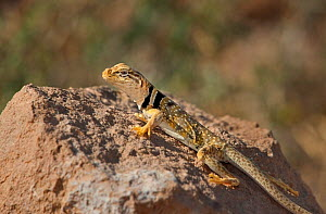 Male Great Basin or Desert collared lizard (Crotaphytus insularis bicinctores) sits on a rock outcrop in Redding canyon, Owens valley, Inyo county, California, United States  -  David Welling