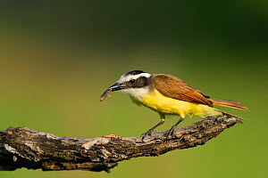 Great kiskadee (Pitangus sulphuratus) perches on a dead mesquite tree limb, with food in beak, Laguna Seca Ranch near Edinburgh, Texas, United States  -  David Welling