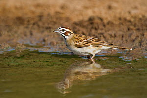 Wild Lark Sparrow (Chondestes grammacus) drinks at the edge of a small pond on Dos Venadas Ranch, Starr county, Rio grande valley, Texas  -  David Welling
