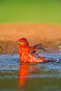 Male Summer tanager (Piranga rubra) bathes in a small pond on Laguna Seca ranch, Rio grande valley, South Texas, USA  -  David Welling