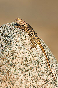 Yellow-backed spiny lizard (Sceloparus uniformis / magister) perches on a rock along Chalk Cliffs Road, Bishop, California United States  -  David Welling