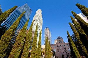 Looking up at evergren trees and skyscrapers in downtown Los Angeles, California, USA, July 2011  -  Gavin Hellier