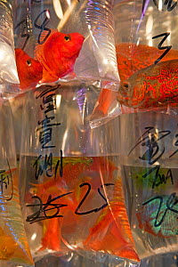 Shops selling tropical fish, koi carp and goldfish in bags, Mongkok, Hong Kong, China 2007 - Gavin Hellier