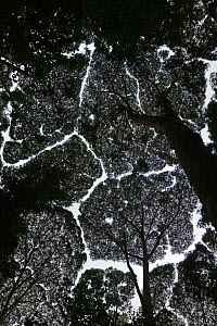 Looking up at canopy of tropical rainforest, Malaysia, 2008 - Gavin Hellier