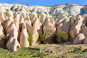 Man tending his vineyard in front of Tufa rock formations in the Rose Valley near Goreme, Anatolia, Turkey, 2008  -  Gavin Hellier