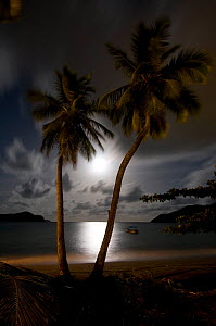 Coconut palms (Cocos nucifera) with the moon rising, Tobago, Caribbean. - Michael Pitts,Michael Pitts