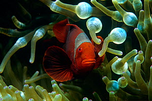 Spine cheeked anemonefish (Premnas biaculeatus) in anemone, Soloman Islands, Indo-Pacific  -  Michael Pitts