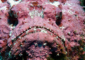 Stonefish (Synanceia verrucosa) close up portrait, Red Sea. - Michael Pitts