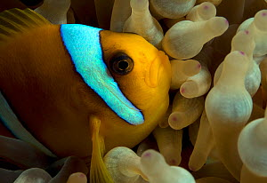 Red Sea Clownfish (Amphiprion bicinctus) endemic, Red Sea.  -  Michael Pitts
