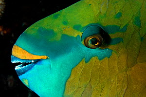 Bicolour parrotfish (Cetoscarus bicolor) sleeping at night, Red Sea. - Michael Pitts