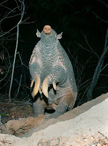 Giant Armadillo (Priodontes maximus), adult female standing and sniffing air. Pantanal, Brazil, October. - Kevin Schafer