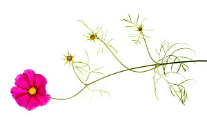 Cosmos (Cosmo sp.) in flower. France, Europe, August. - Niall Benvie