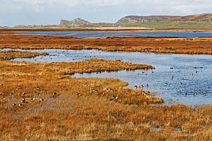 Mixed species of geese including Greylag (Anser anser) and White fronted geese (Anser albifrons) on Loch Gorm Islay Scotland, UK, October  -  Alan Williams