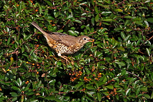 Mistle Thrush (Turdus viscivorus) feeding on Pyracantha berry on industrial estate, Deeside, North Wales, UK, November - Alan Williams